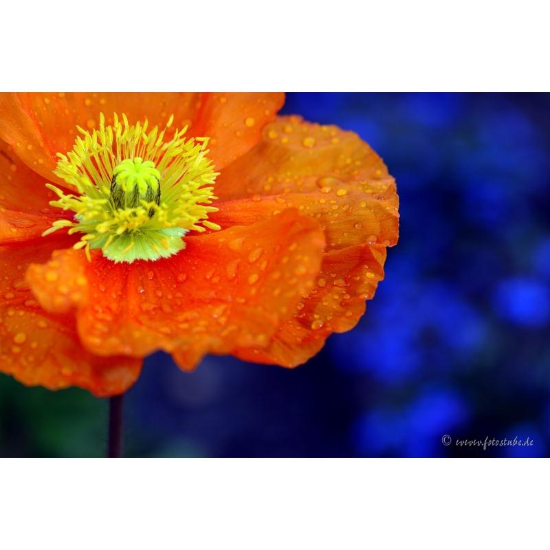 Naturbilder  Blumenfotos  Blume  Mohnblumen  Bilder  Orange  Bl
