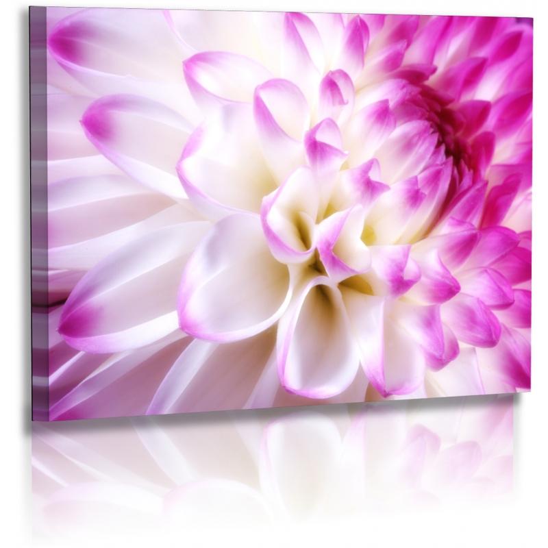 Naturbilder - Blumenfotos - Dahlien - Bilder - Weiss - Lila - Blumen